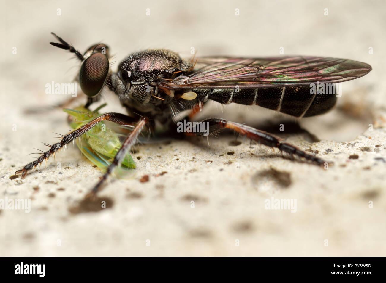 Robber Fly (Atomosia sp) zum Zeitpunkt des Verzehrs eines membracidae Stockbild