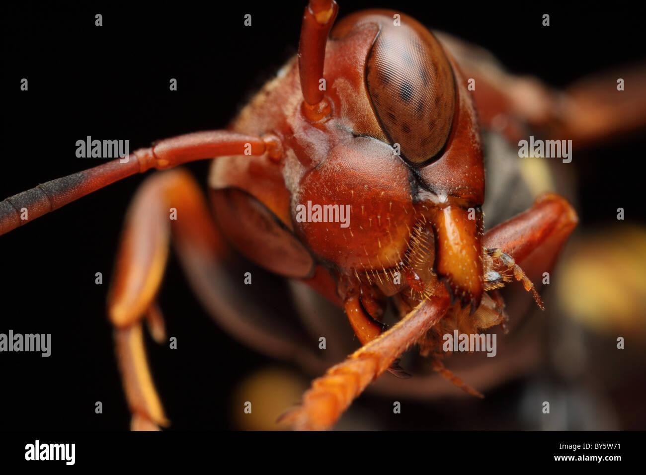 Eine rote Wespe, die Beine mit der komplexen Zunge zu reinigen Sie die Augen nach der Reinigung. Stockbild