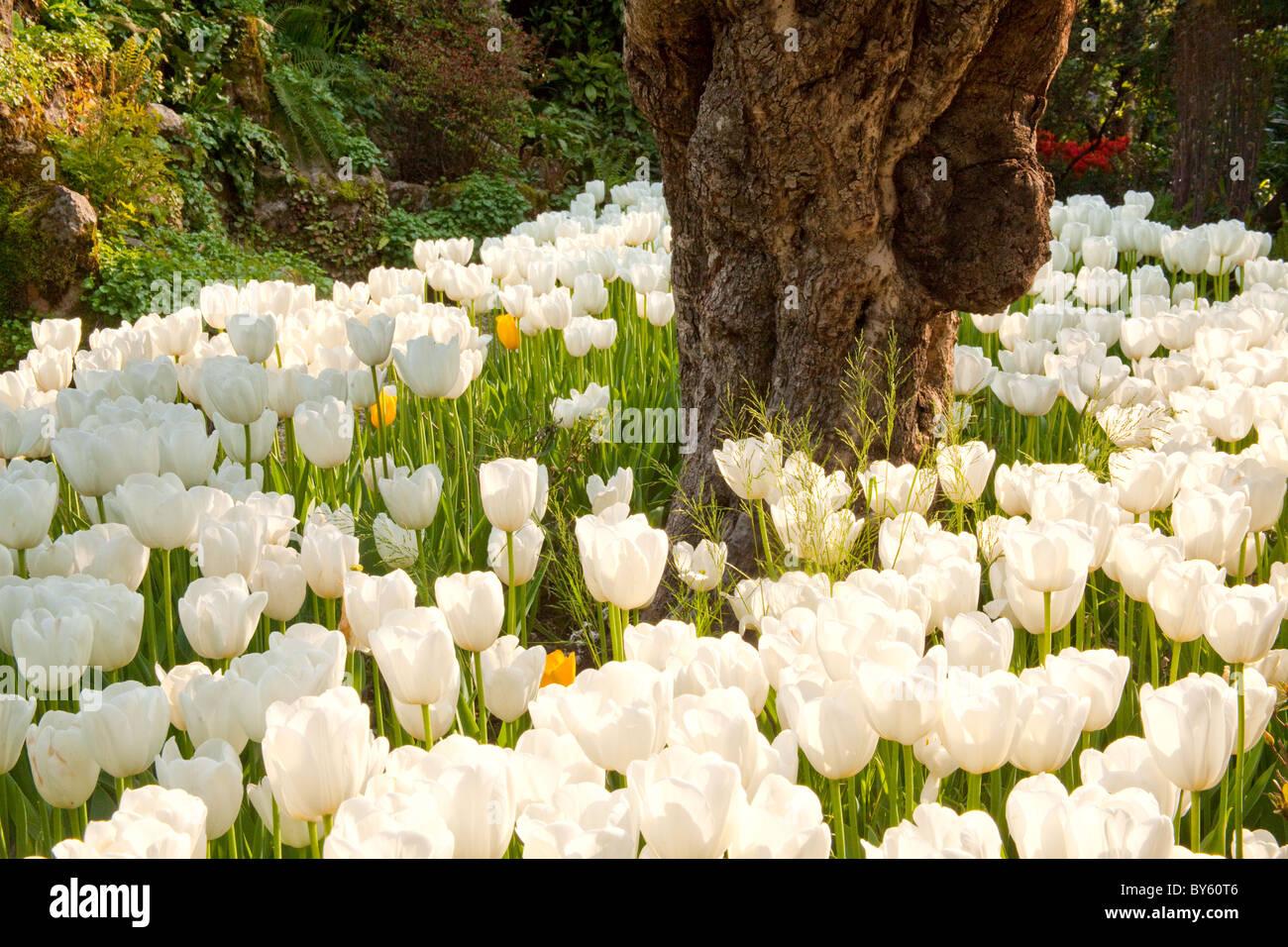 Weiße Tulpen Wachsen Runde Knorrigen Stamm In Andre Heller