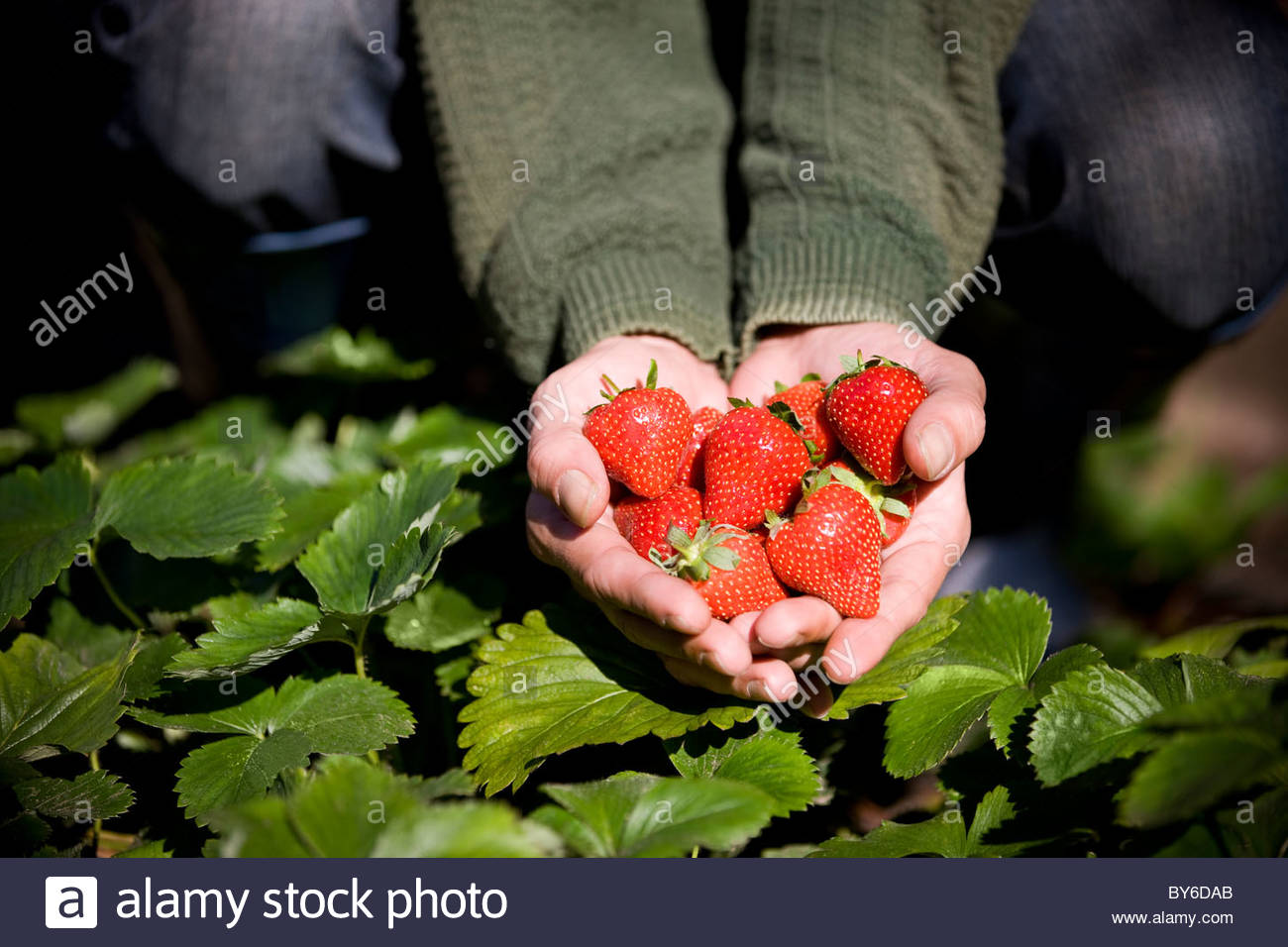 strawberries stockfotos strawberries bilder alamy. Black Bedroom Furniture Sets. Home Design Ideas