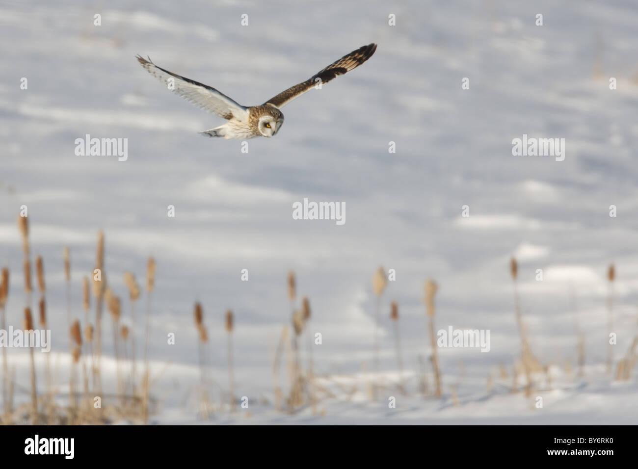 Sumpfohreule (Asio Flammeus) fliegen während der Jagd nach Nahrung Stockfoto