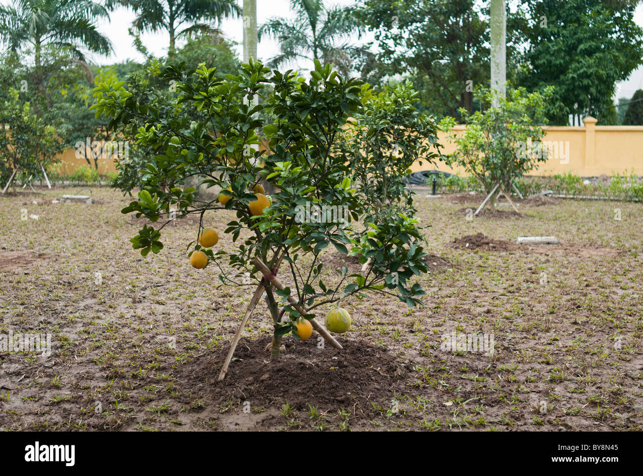 pomelo tree stockfotos pomelo tree bilder alamy. Black Bedroom Furniture Sets. Home Design Ideas