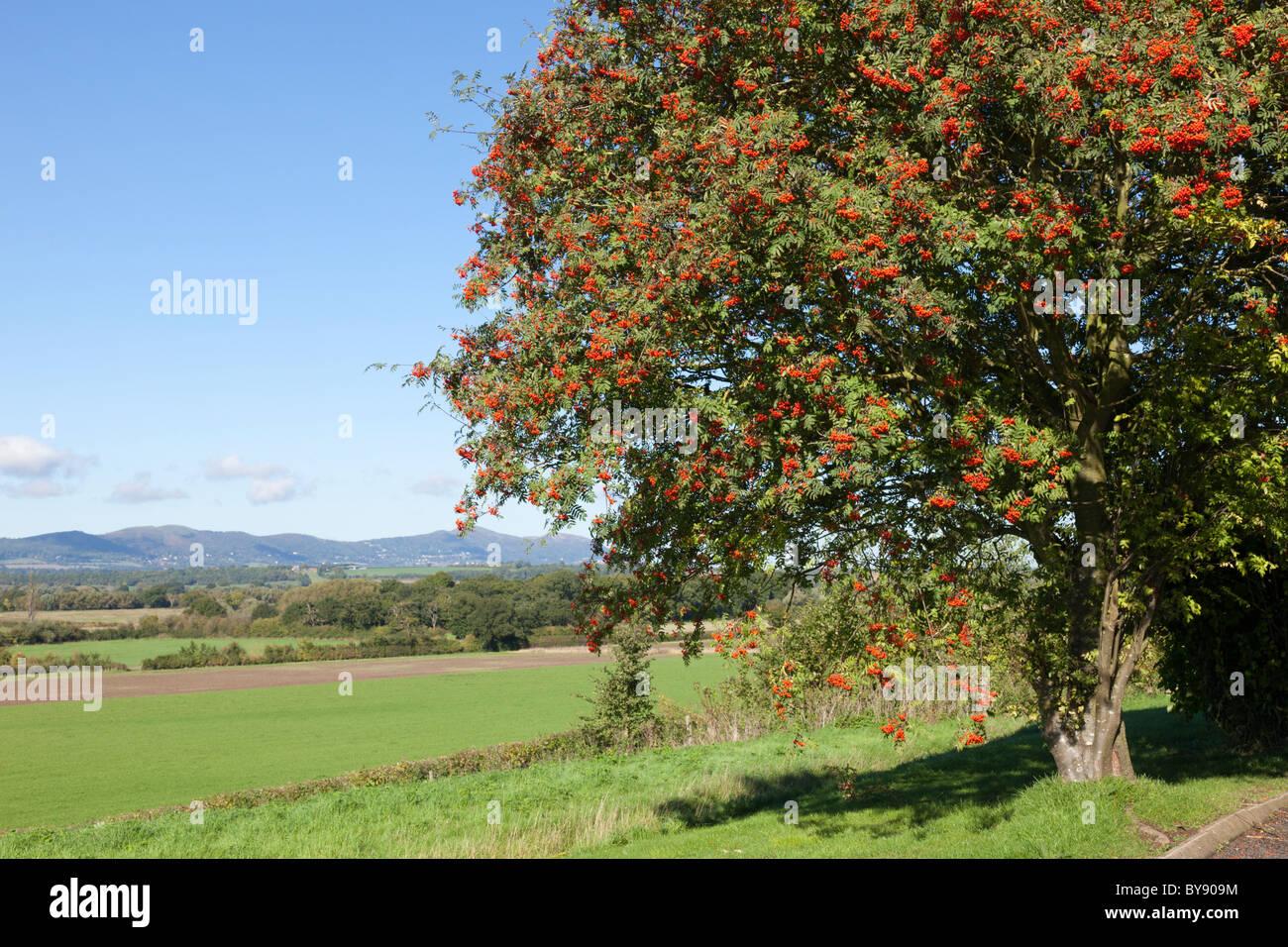 Eine Eberesche, Vogelbeerbaum, bei Longdon, Worcestershire. Die Malvern Hills sind im Hintergrund. Stockbild