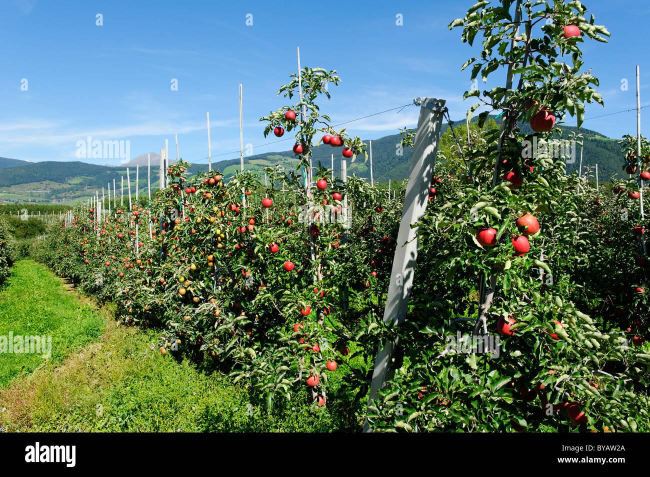 Obstanbaugebiet, Natz Schabs Apfelplantagen, Alto Adige, Italien, Europa Stockbild