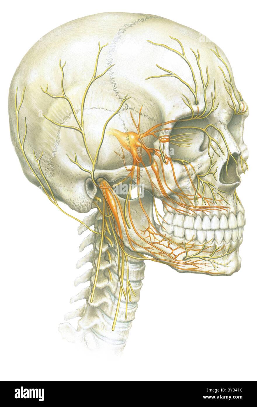 Eine Illustration des menschlichen Schädel und Nerven-Systems ...