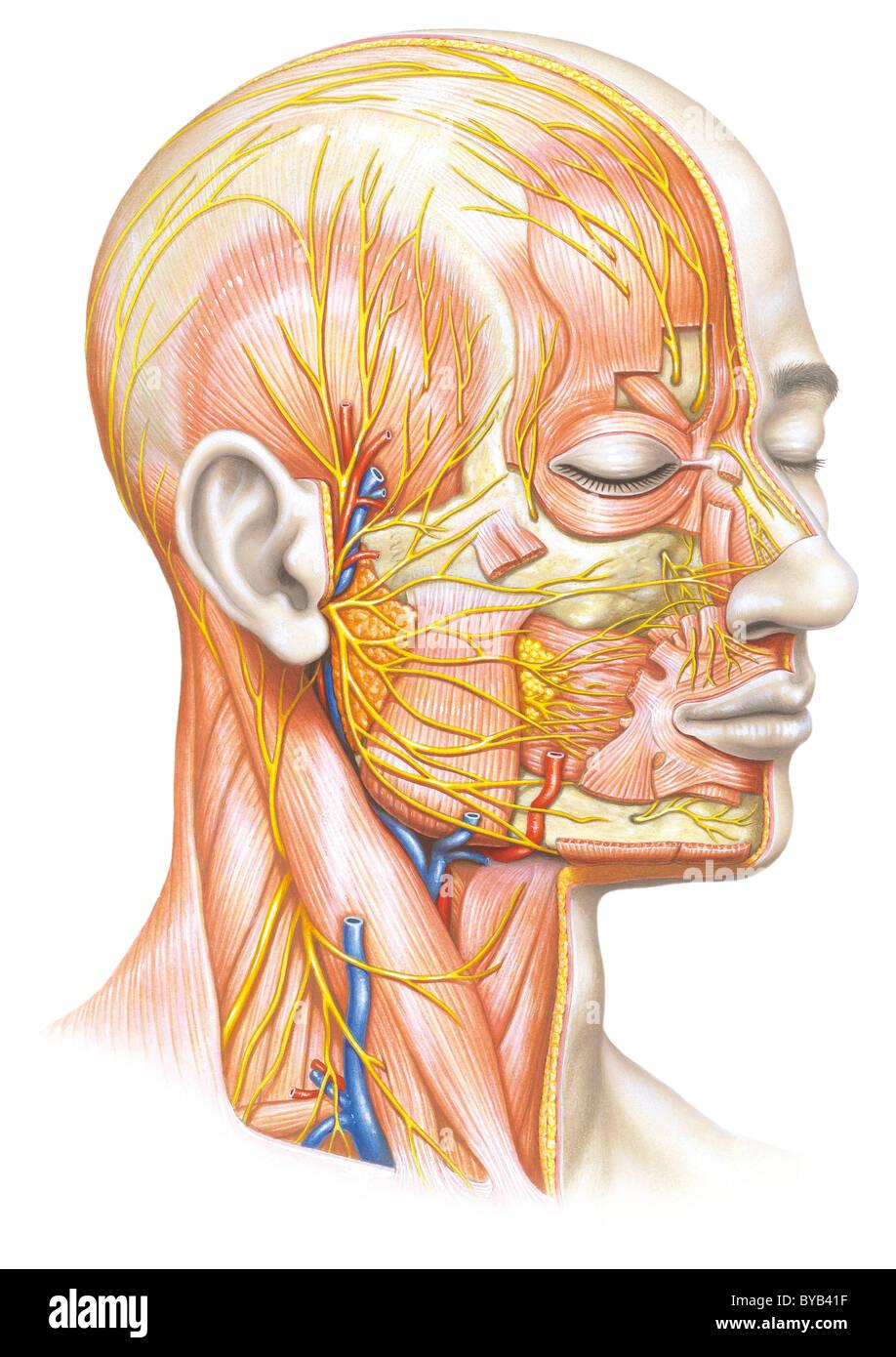 Ligaments Ligament Stockfotos & Ligaments Ligament Bilder - Alamy