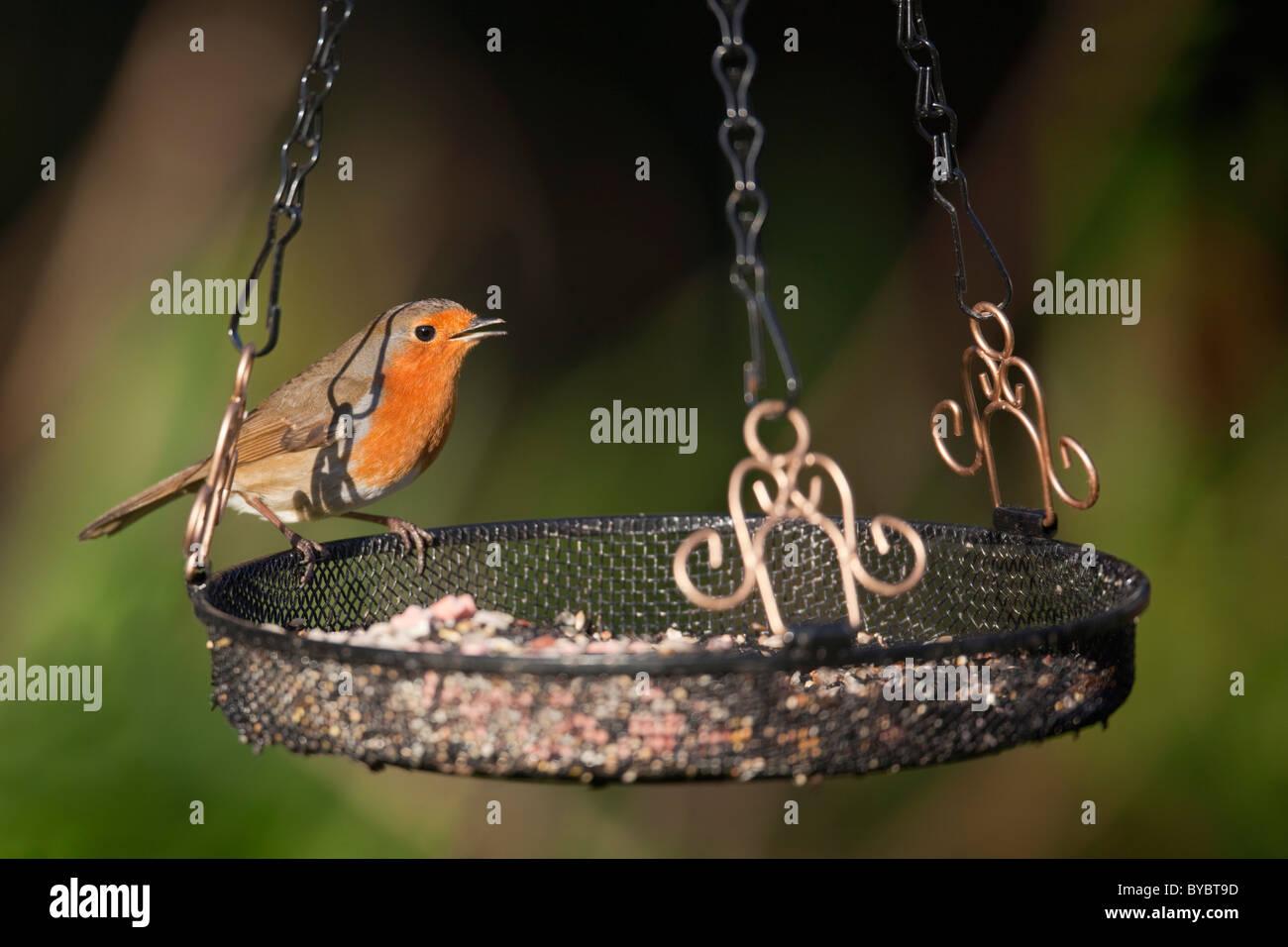 Robin; Erithacus Rubecula; auf einem Tablett Feeder; Garten; Cornwall Stockbild