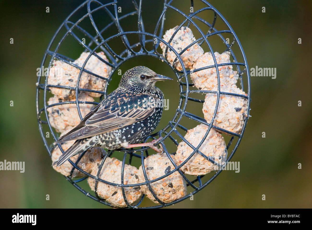 Starling; Sturnus Vulgaris; auf eine fette Kugel Feeder; Garten; Cornwall Stockbild