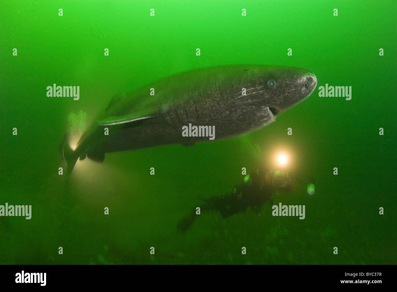 Schlafer Gronlandhai Somniosus Microcephalus Und Taucher Str