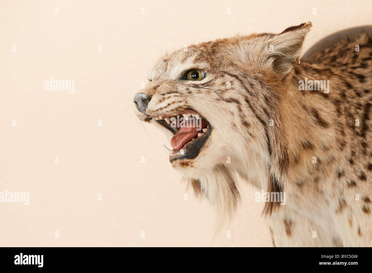 dead lynx is stockfotos dead lynx is bilder alamy. Black Bedroom Furniture Sets. Home Design Ideas