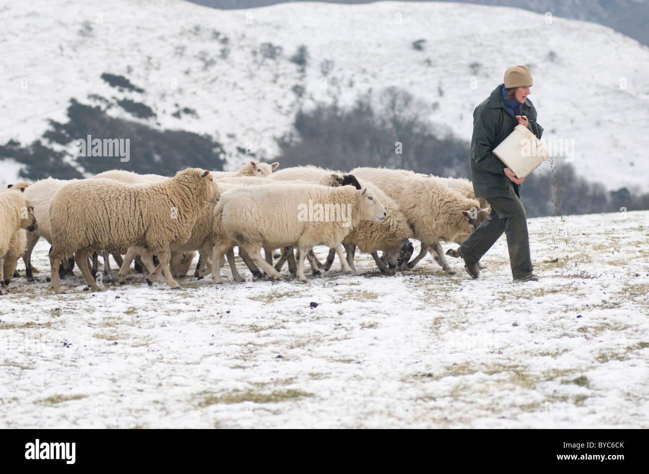 Schäferin füttern ihre Schafe auf Ecton Hill Peak District National Park Stockbild