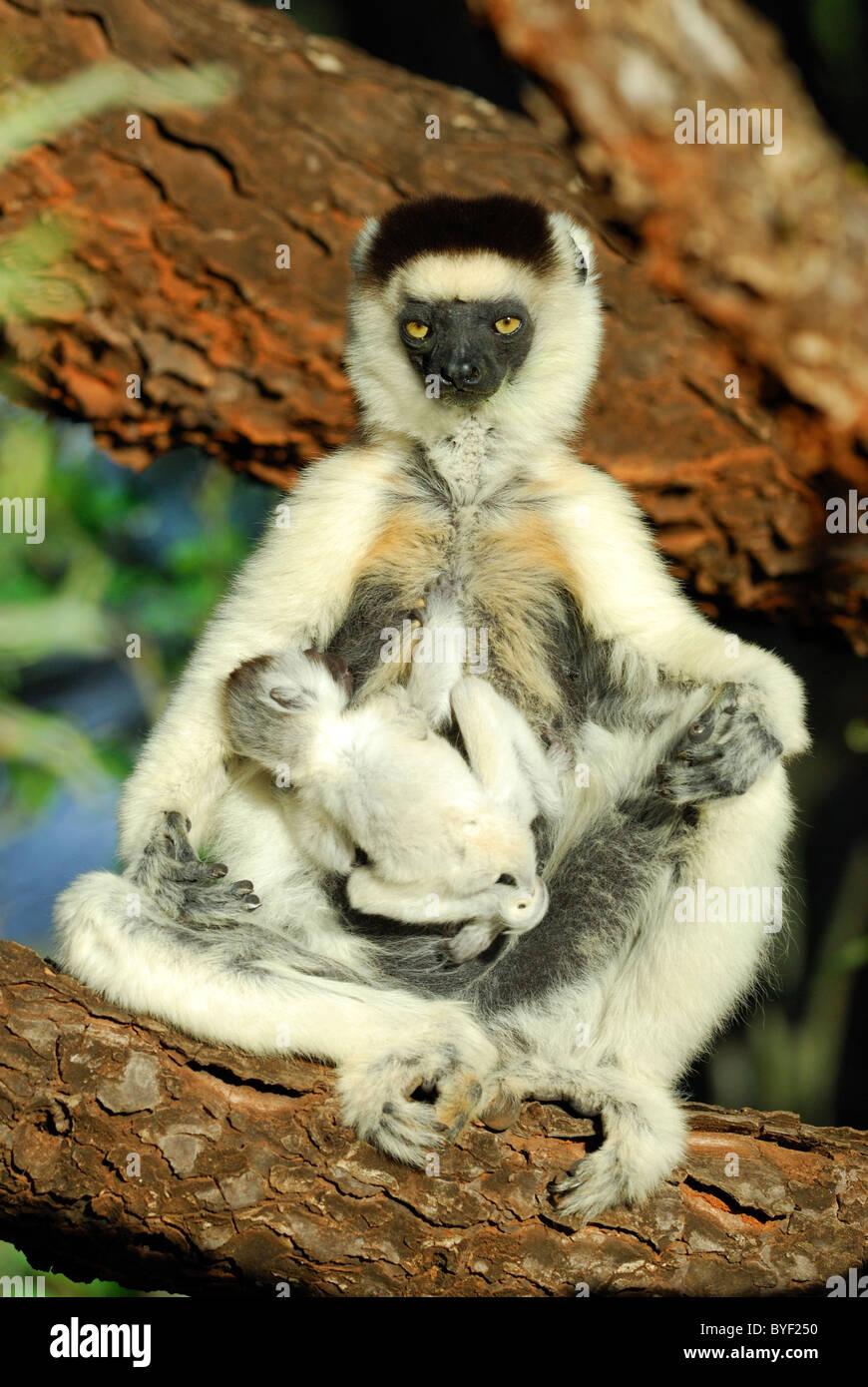 Müde Mutter Verreaux Sifaka (Propithecus Verreauxi) mit ihrem Baby, Madagaskar Stockbild