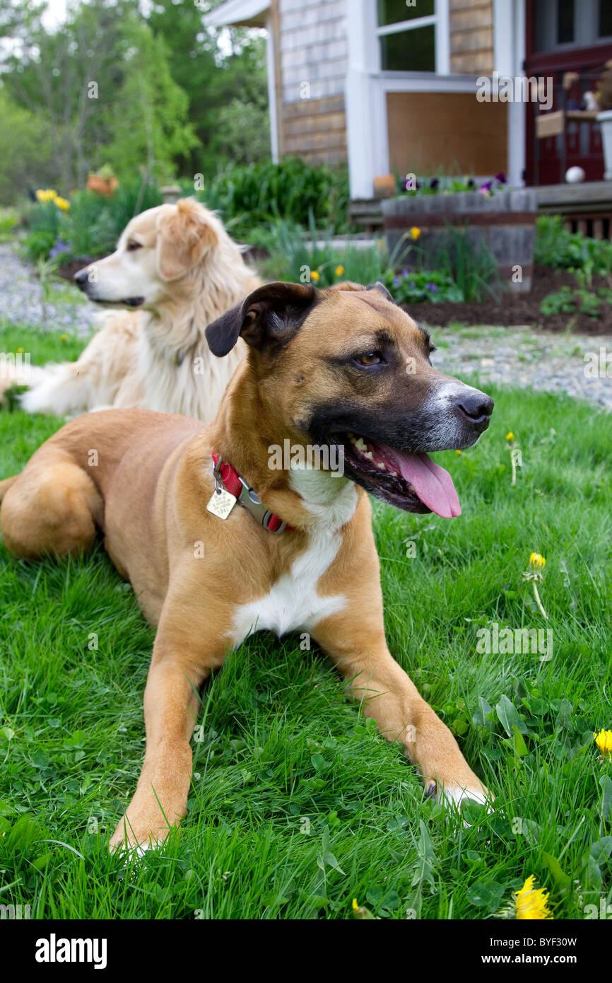 Zwei Hunde Boxer Mix Und Golden Retriever Festlegung Im Rasen