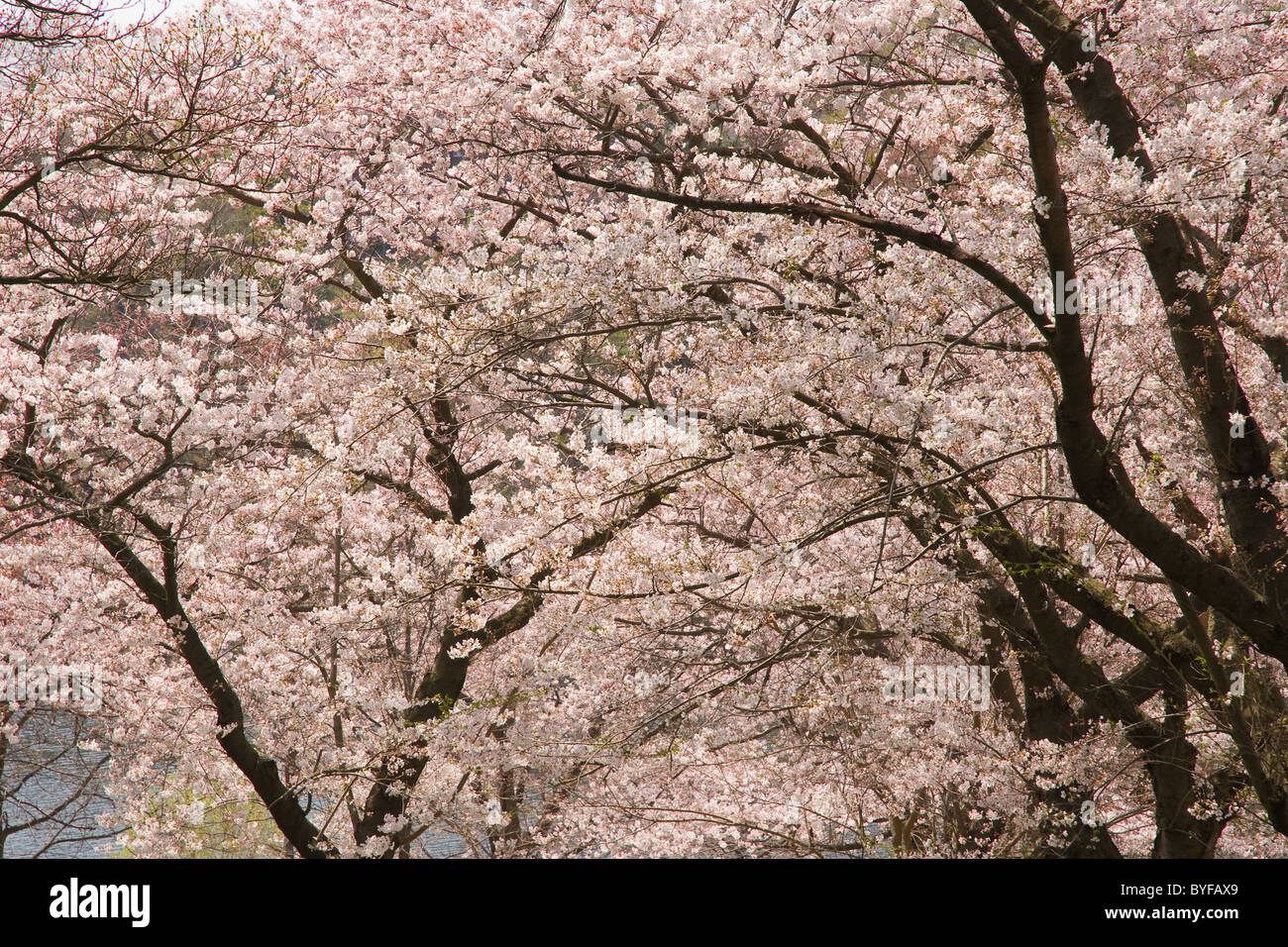 Blick durch blühende japanische Kirschbäume blühen während Hanami. Stockbild
