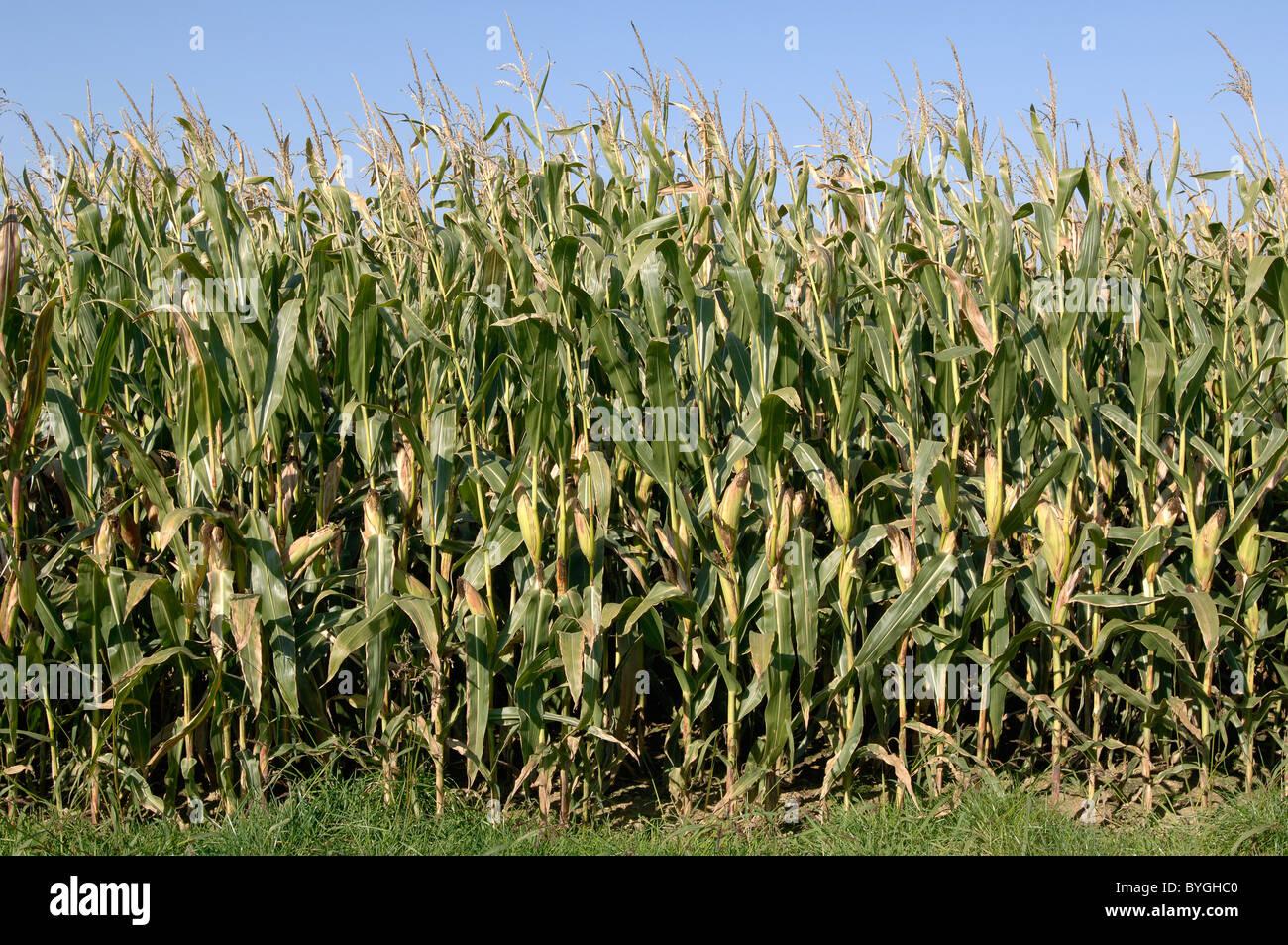 Mais, Mais (Zea Mays). Rand eines Feldes. Stockbild