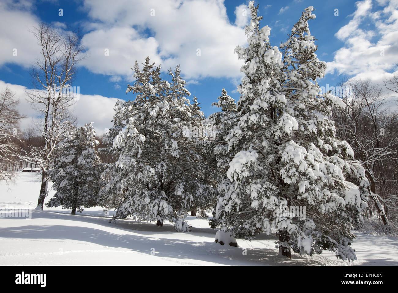 Schnee bedeckt Kiefer Bäume, hohlen Jockey National Historical Park in Morristown, New Jersey Stockbild