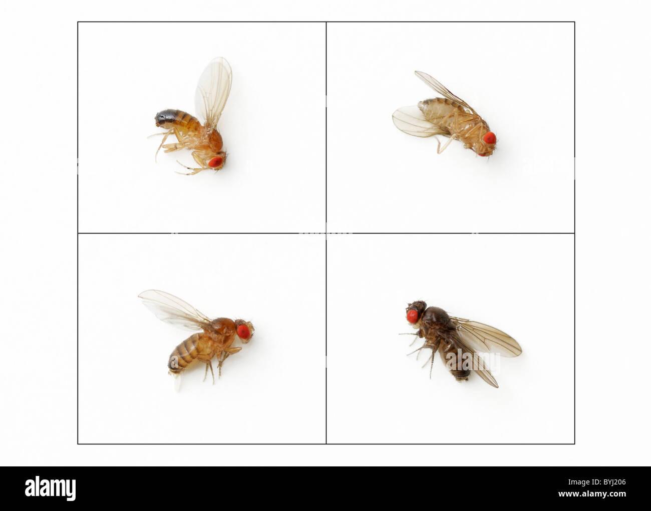Ebenholz Drosophila