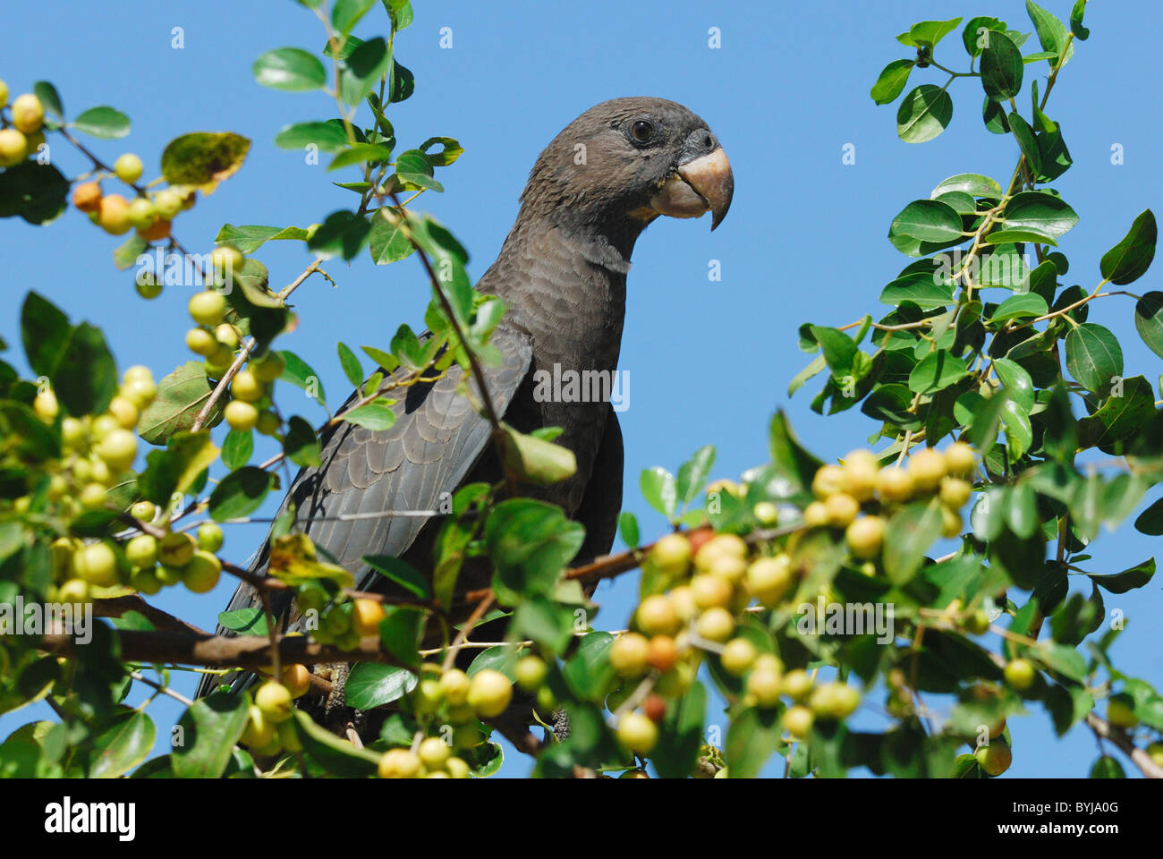 Geringerem Vasa Papagei (Coracopsis Nigra) ernähren sich von Beeren Stockbild