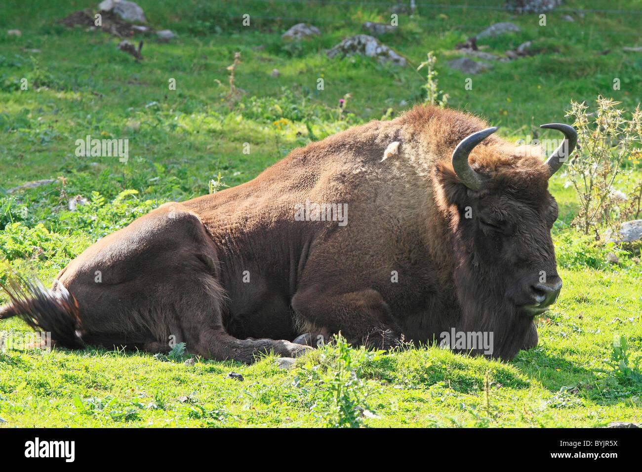 Europäische Bison (Bison Bonasus) ruhen in Highland Wildlife Park, Schottland. Stockbild