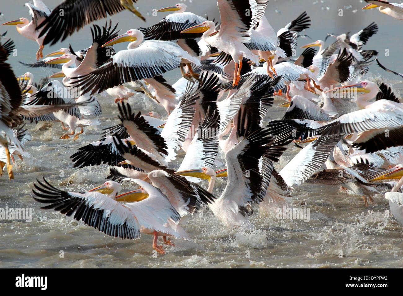 Ein Groupf der Rosapelikan (Pelecanus Onocrotalus) Vögel in Rann Of Kutch, Gujarat, Indien Stockbild