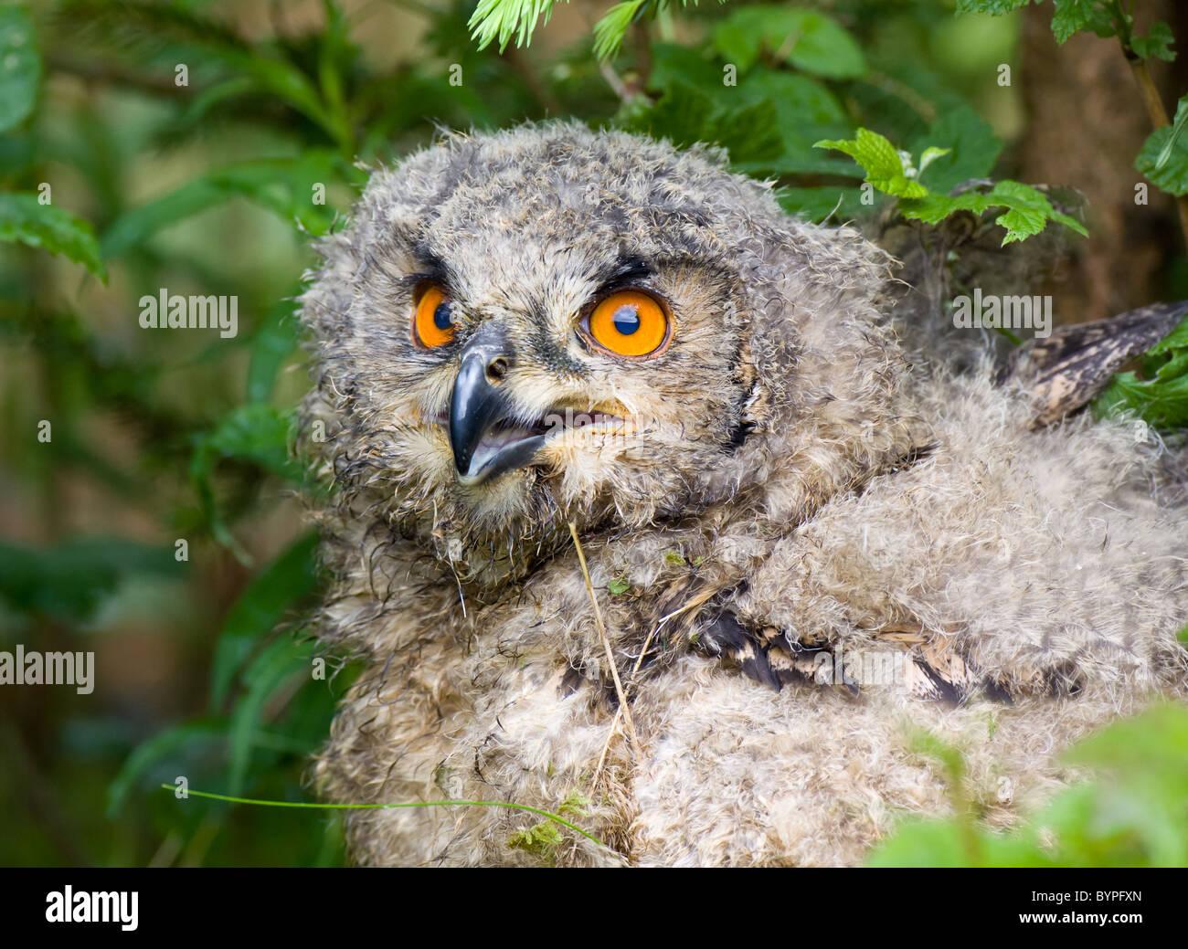 Junge eurasische Adler-Eule Bubo Bubo, Deutschland Bayerischer Wald Stockbild