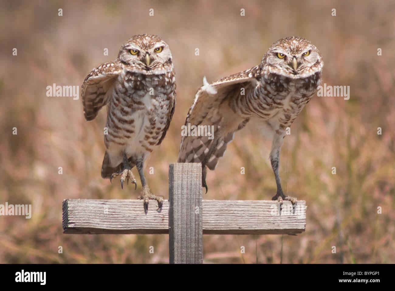 """""""Put Your rechten Fuß heraus"""" - Diese Burrowing Owls in Cape Coral Florida zu Ruki Zuki tun scheinen. Stockbild"""