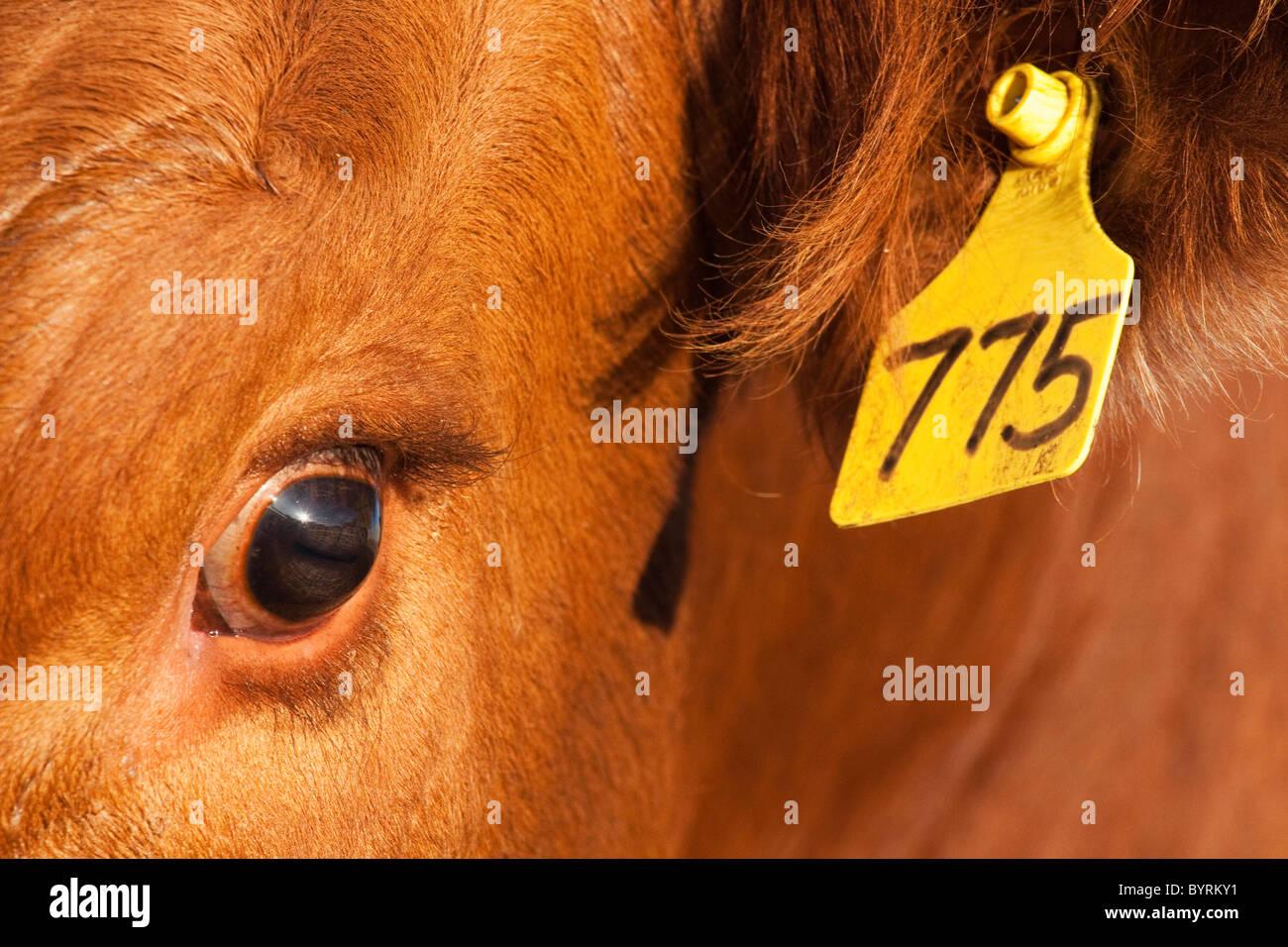 Vieh - Nahaufnahme des Ohrmarke und des Auges einer roten Angus Rind Kuh / Alberta, Kanada. Stockbild