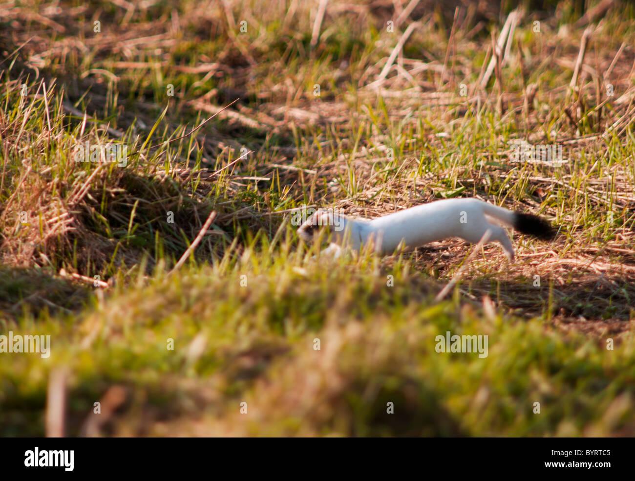 Hermelin Oder In Weißen Wintermantel Jagd Reinen QrtdhsC
