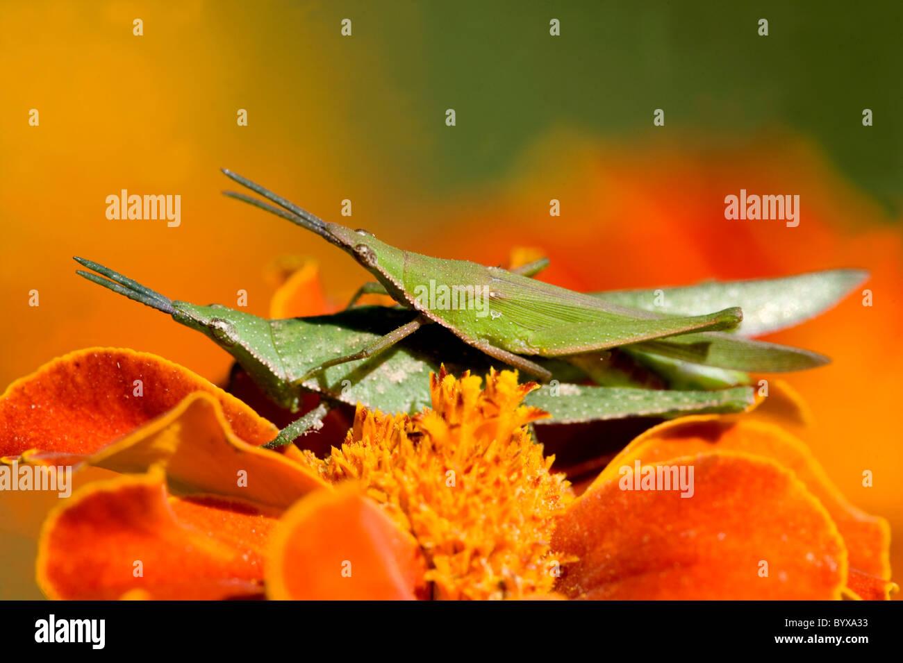 Paar von Heuschrecken Paarung Indien Stockbild