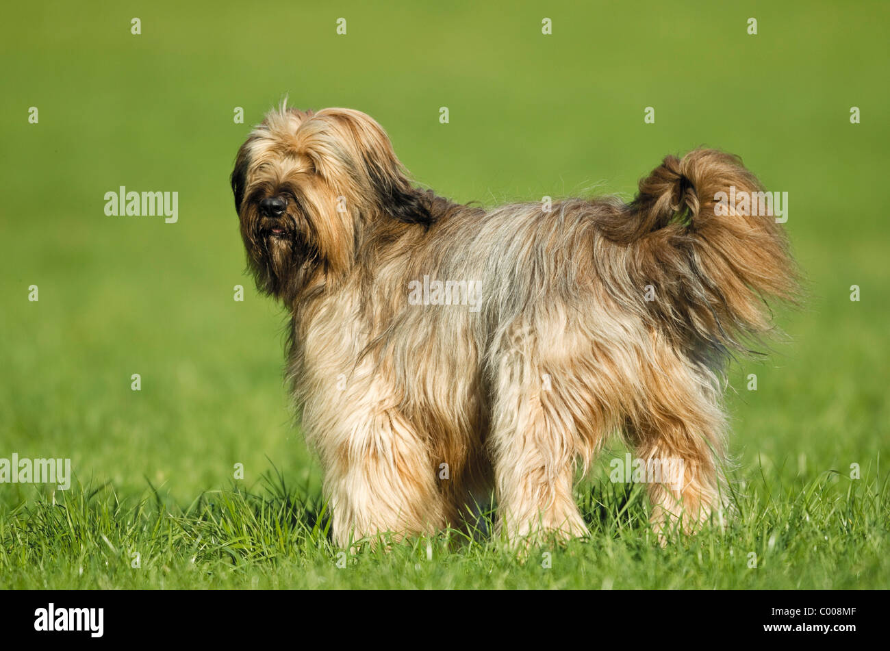 Briard Hund - Stand auf der Wiese Stockbild