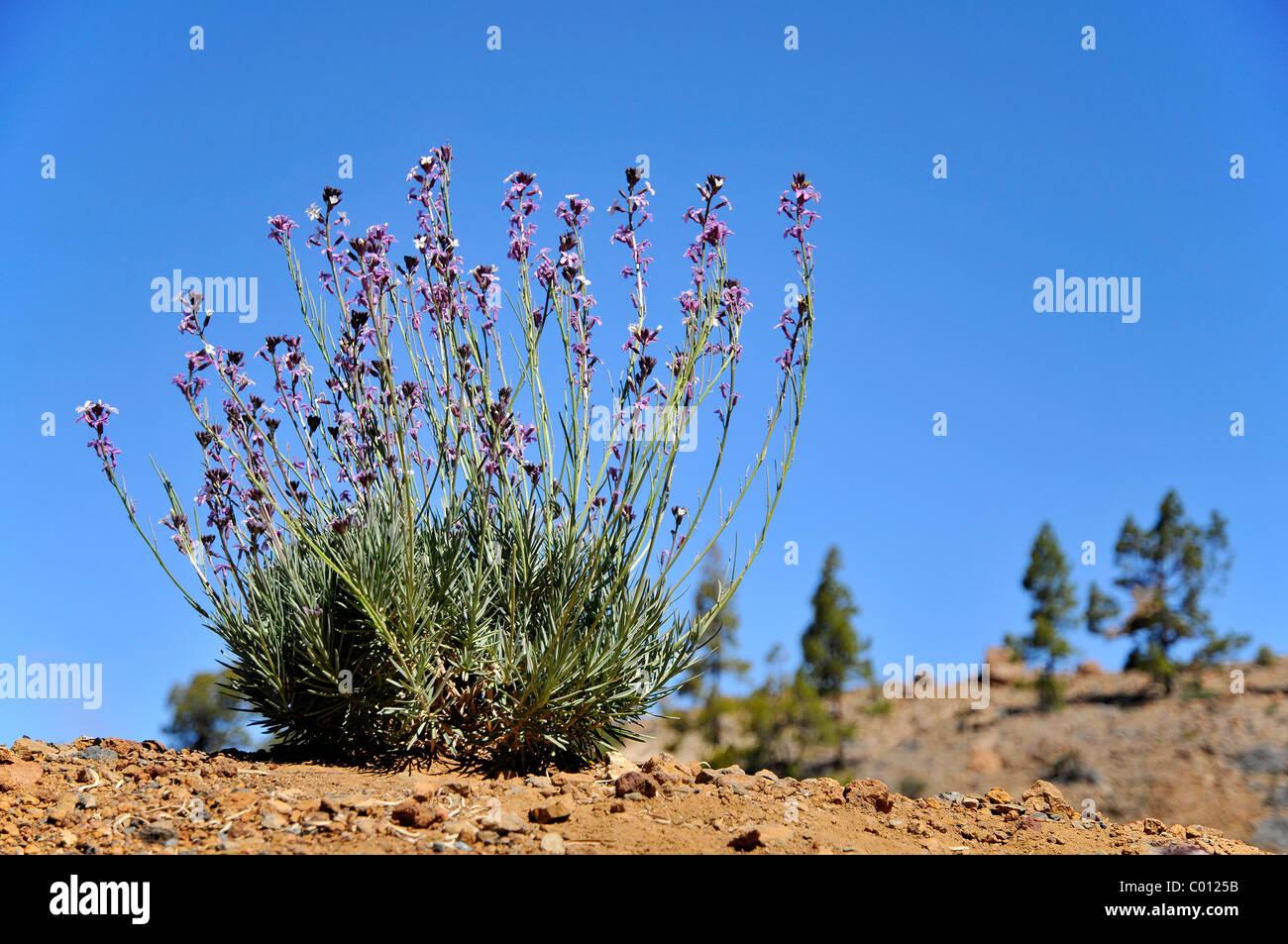 Teide Mauerblümchen (Wegrauke Scoparium) in den Bergen der spanischen Insel Teneriffa auf den Kanarischen Inseln Stockbild