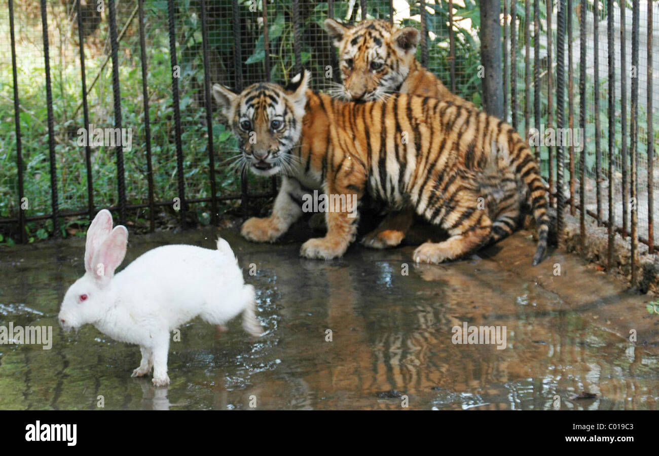 Seltsame Freunde Diese Tigerbabys In China S Wenling Zoo Offenbar