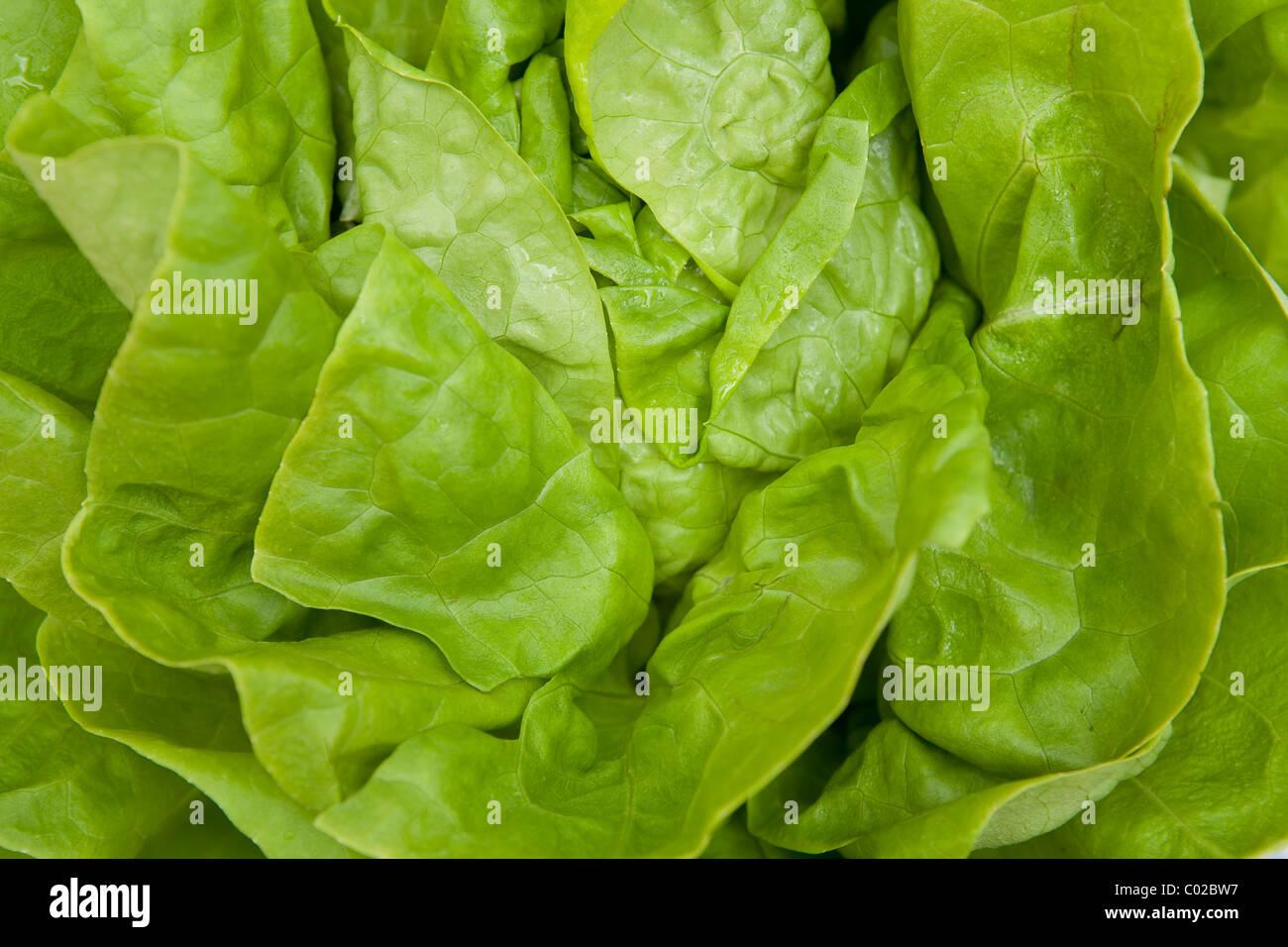 Salat, Nahaufnahme, Vollbild Stockbild