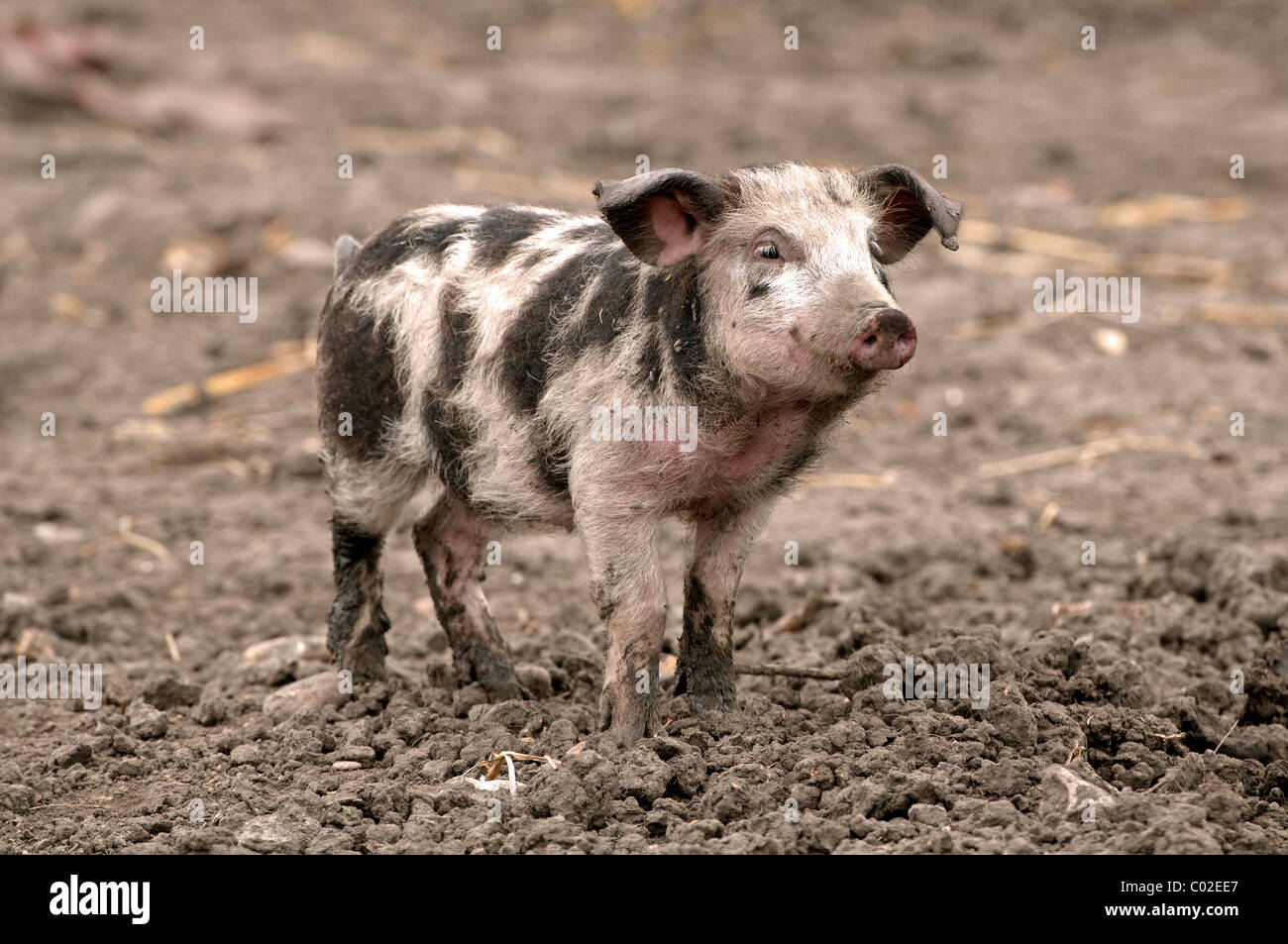Hausschwein, Turopoljeschwein (Sus Scrofa Domestica), Ferkel. Seltene Rasse aus Kroatien. Stockbild