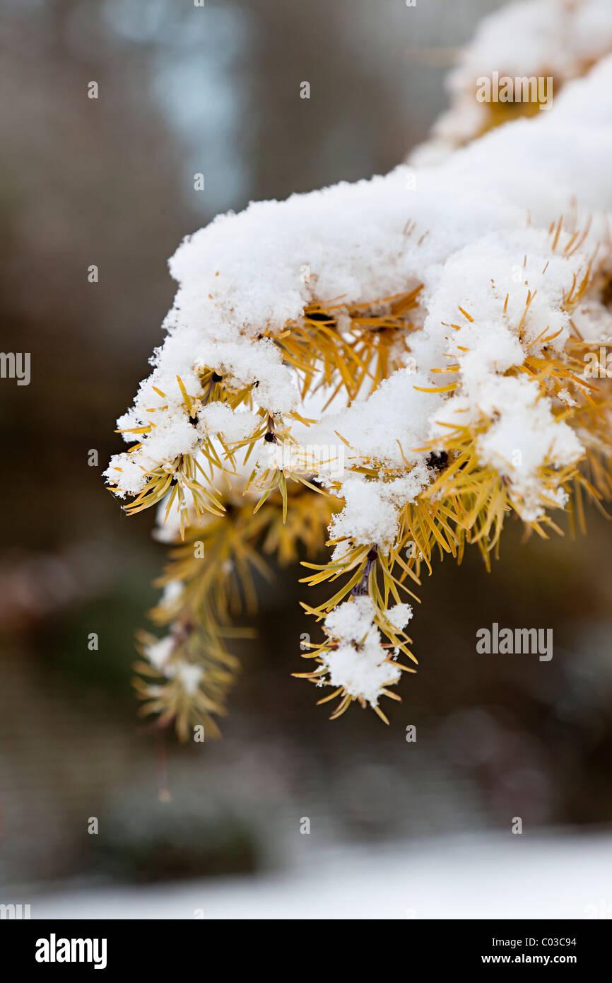 Tannenzweig und Nadeln im Schnee Wales UK Stockbild