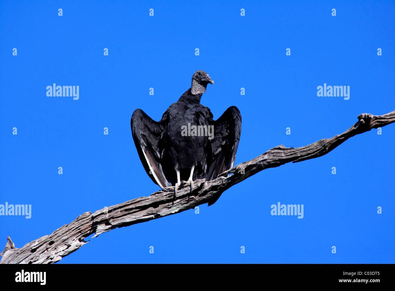 Mönchsgeier (Coragyps Atratus), Erwachsene auf Baum, Pantanal, Brasilien, Südamerika Stockbild