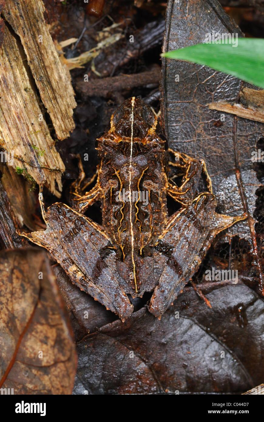 Getarnte Osten Betsileo Madagaskar Frosch (Gephyromantis Asper), Madagaskar Stockbild