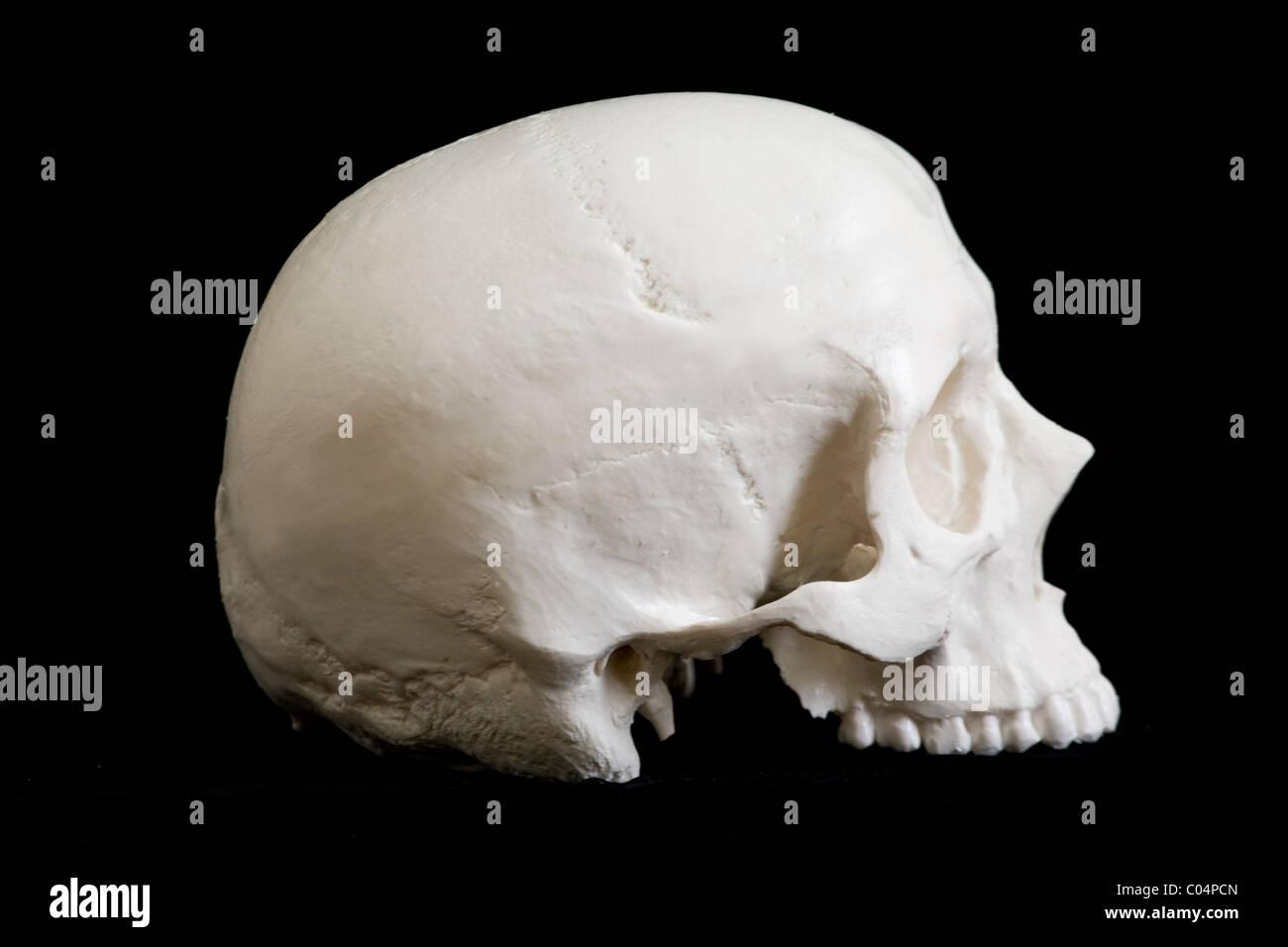 Ungewöhnlich Menschlicher Schädel Anatomie Und Physiologie Fotos ...