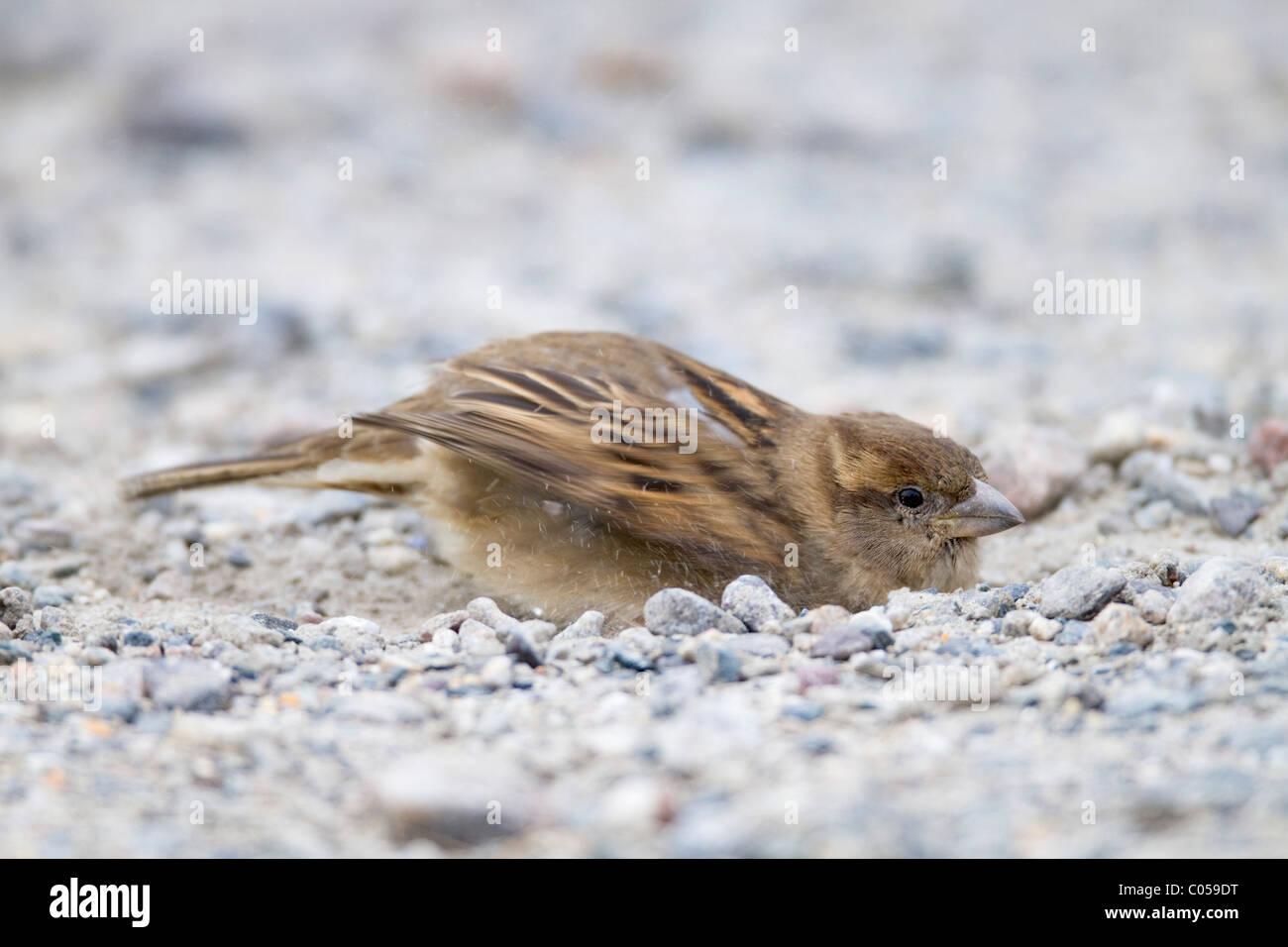 Haussperling; Passer Domesticus; Weiblich; Staub, Baden; Cornwall Stockbild