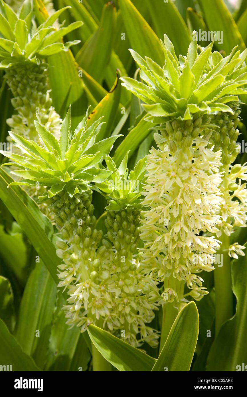 ananas-blume oder eucomis autumnalis anlage in kirstenbosch gardens