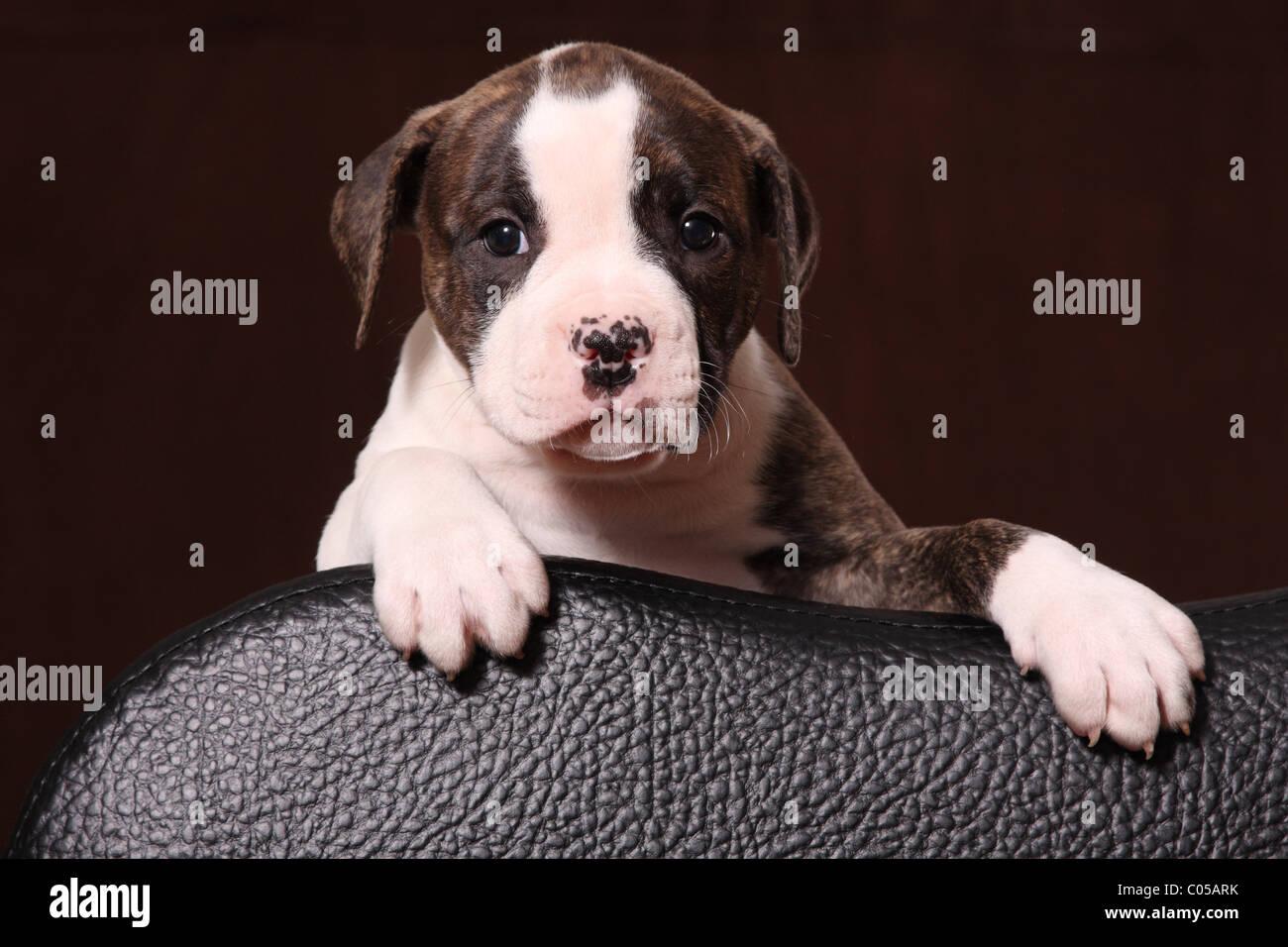 Welpe Der Amerikanischen Bulldogge Stockfotos Welpe Der