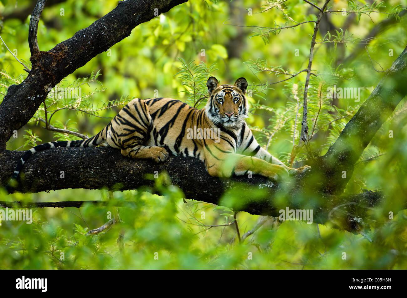 Jugendliche männliche Königstiger (ca. 15 Monate) ruht auf einem Baum. Bandhavgarh NP, Madhya Pradesh, Stockbild