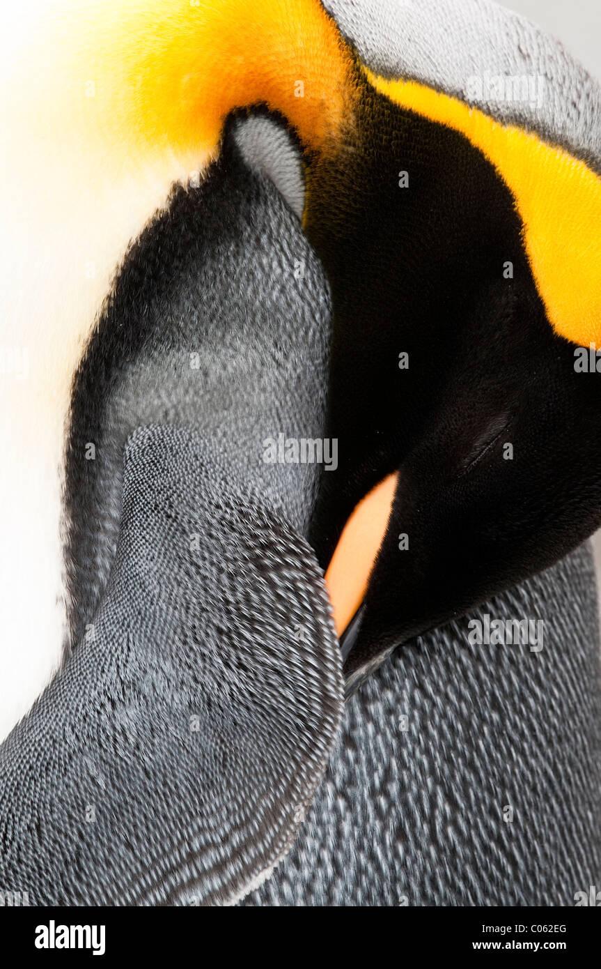 Königspinguin, putzen, Salisbury Plain, Südgeorgien, Süd-Atlantik. Stockfoto