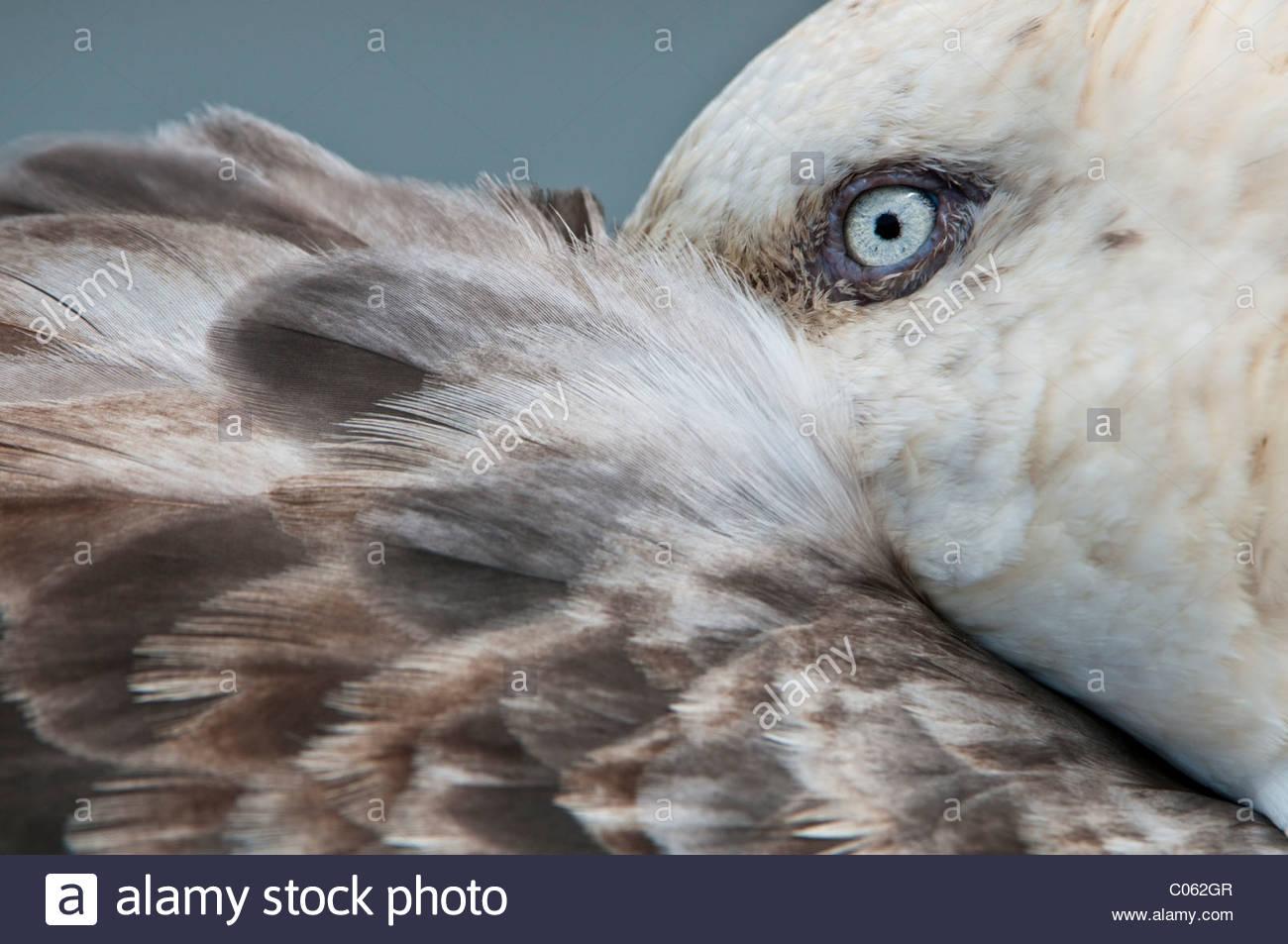 Südlichen Giant Petrel mit Bill versteckt unter seine Fittiche, Stromness, Südgeorgien, Süd-Atlantik Stockbild