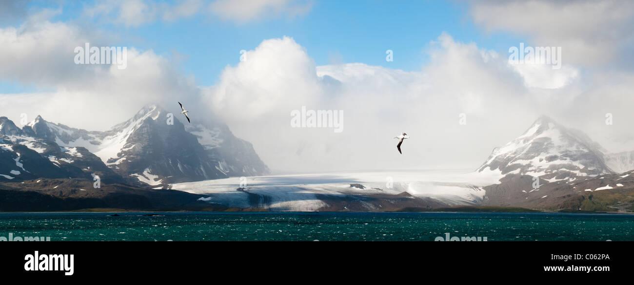Wanderalbatros fliegen über der Bucht der Inseln mit Salisbury Plain-Gletscher im Hintergrund. Süd-Georgien, Stockbild