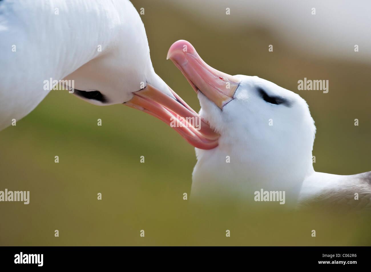 Black-browed Albatross putzen an Zucht Kolonie, Saunders Island, Falkland-Inseln, Süd-Atlantik. Stockbild