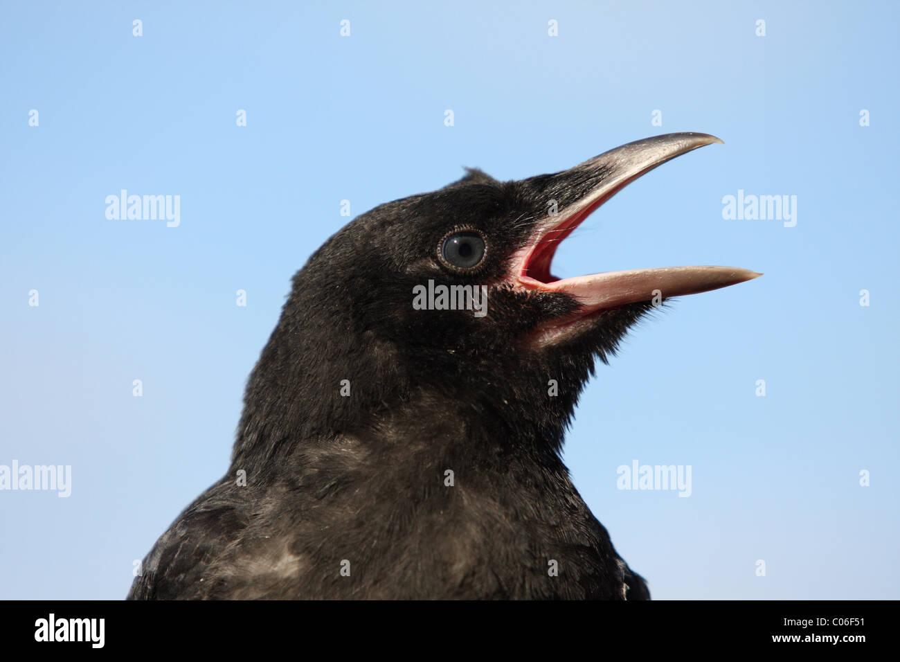 AAS-Krähe-Porträt Stockbild