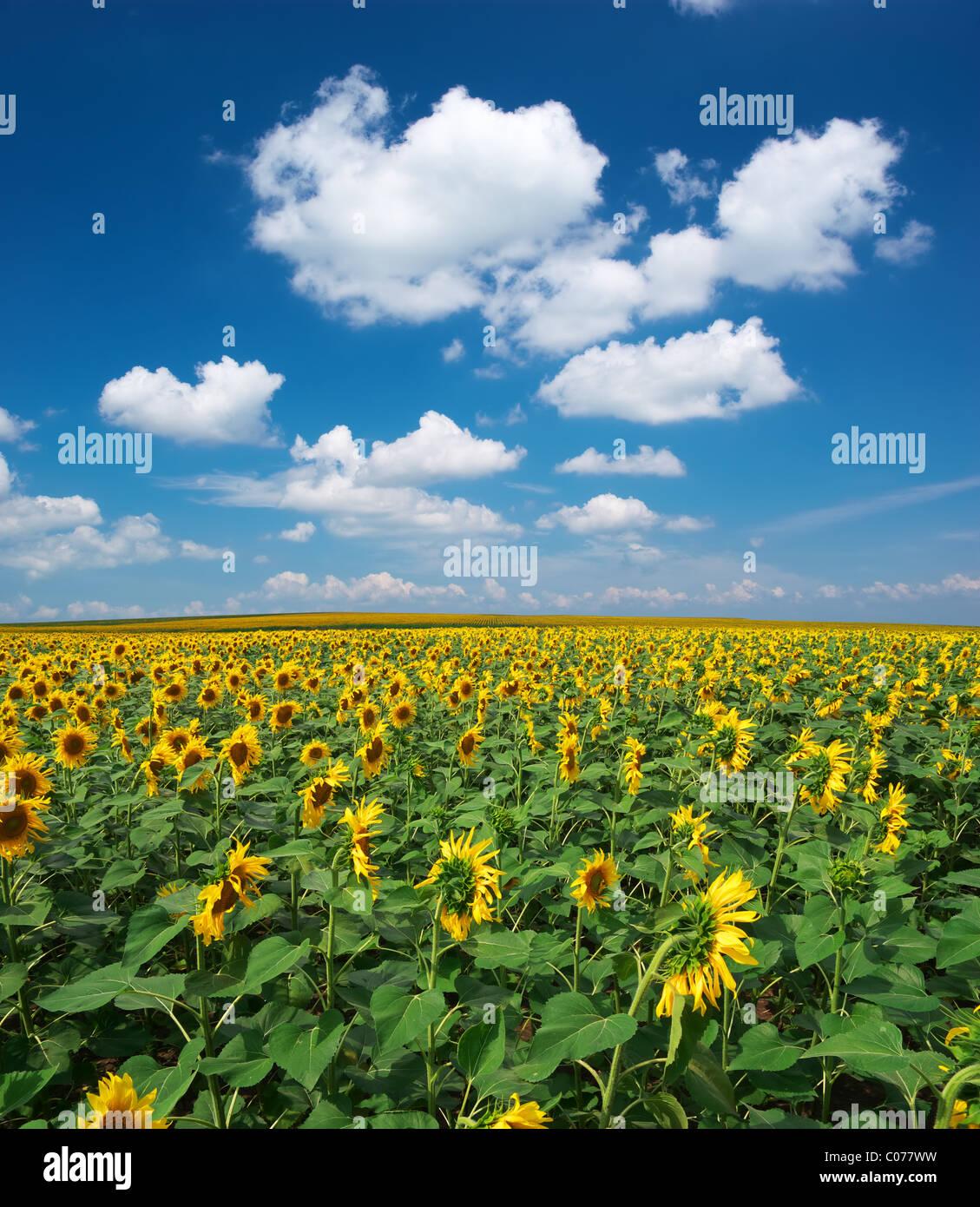 Großes Feld von Sonnenblumen. Zusammensetzung der Natur. Stockfoto