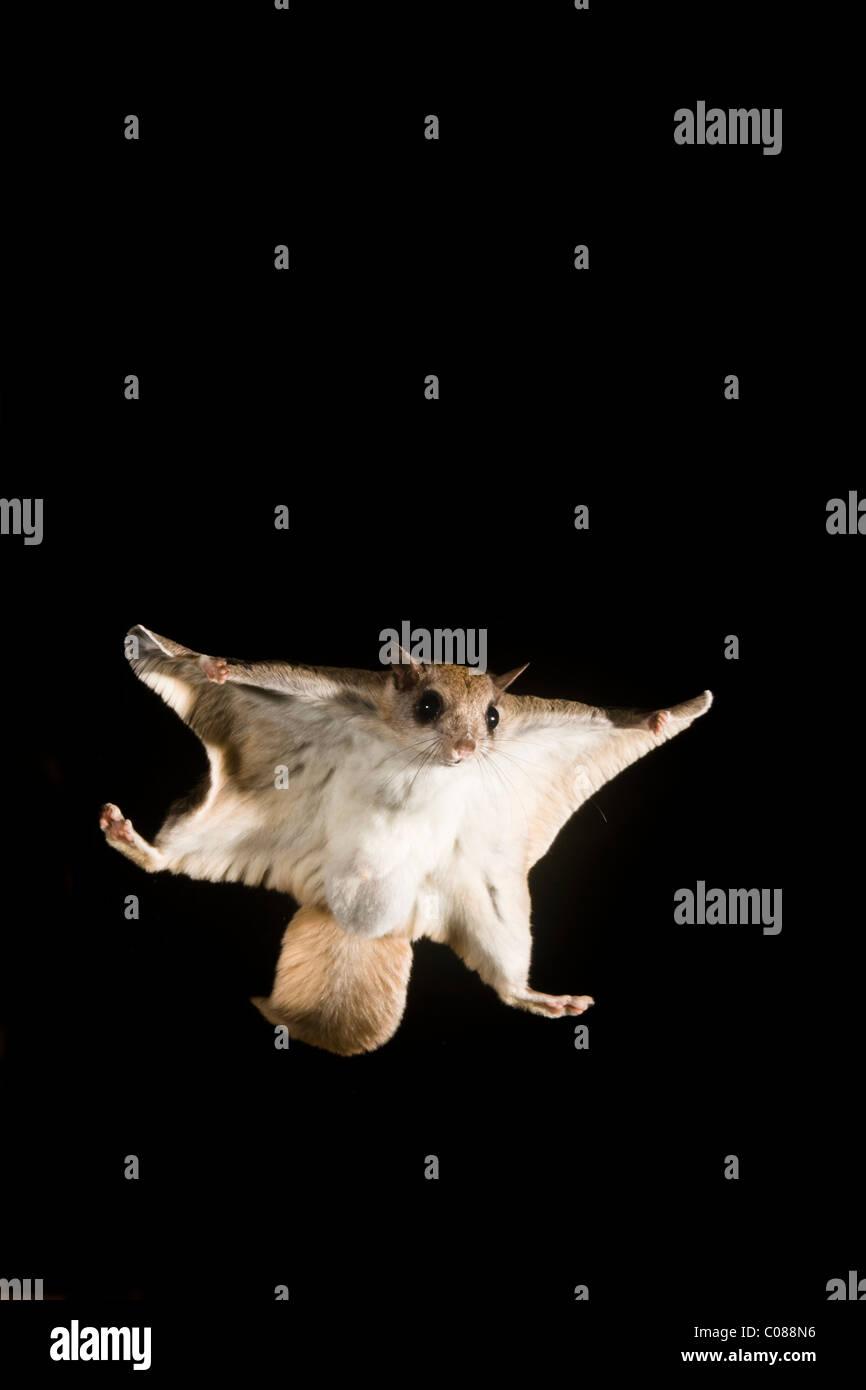 Südliche Gleithörnchen gleiten in der Nacht Stockbild