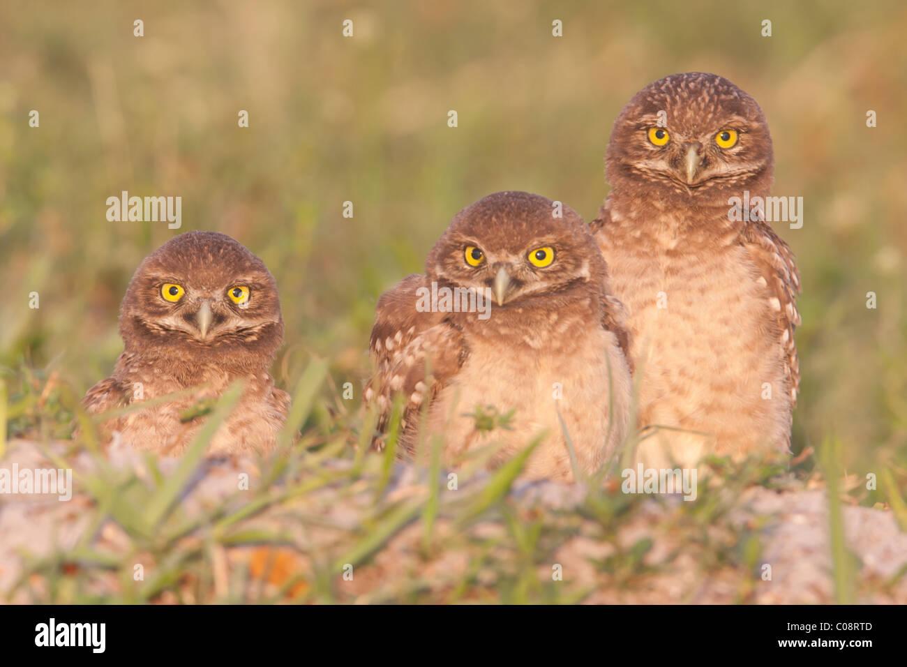 Drei Burrowing Owls (Athene Cunicularia) Jungvögel stehen neben dem Eingang in ihre Höhle Stockbild